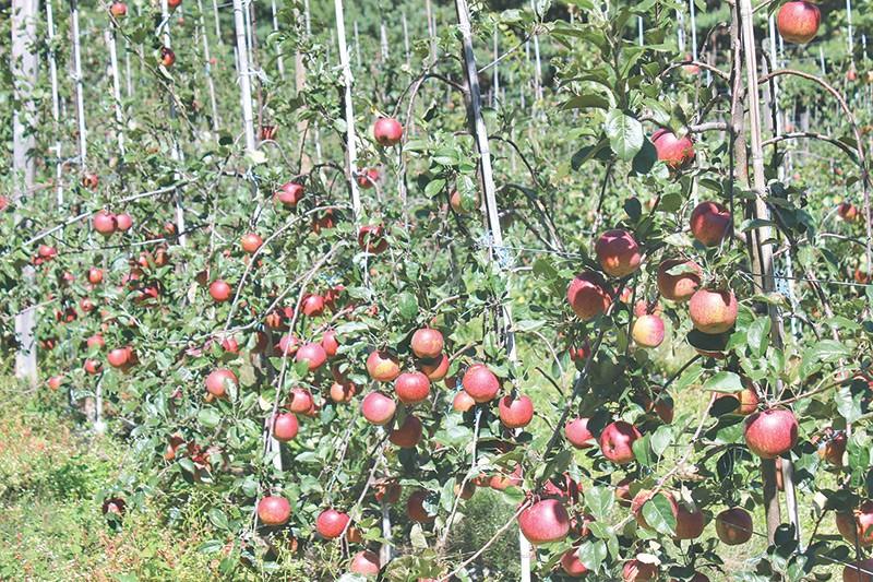 मनाङमा स्याउ छ, बजार पुर्याउन बाटो छैन: किसानको समस्या